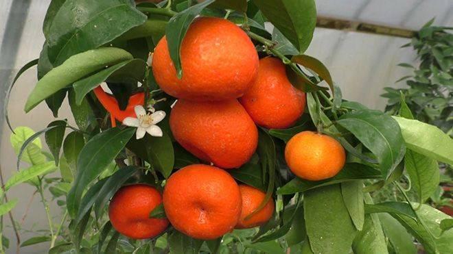 Смесь апельсина и мандарина: как называется гибрид цитрусовых, грейпфрута, лимона и других фруктов, название тангор