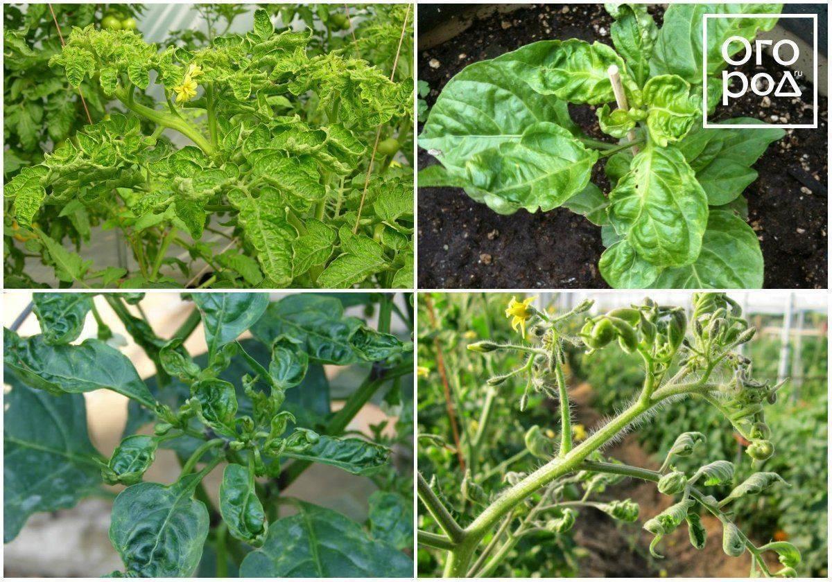 Почему скручиваются листья у томатов в теплице?