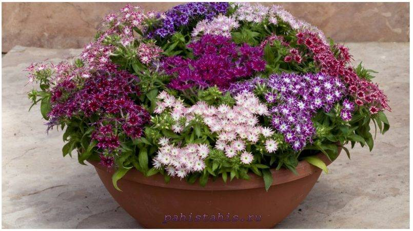 Флокс друммонда: выращивание из семян, посадка и уход, сорта, фото