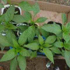 Чем подкормить рассаду перца: когда вносить удобрение, какие бывают удобрения