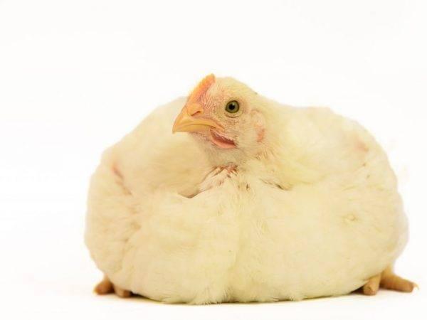 Цыплята и куры падают на ноги - причины и что делать?