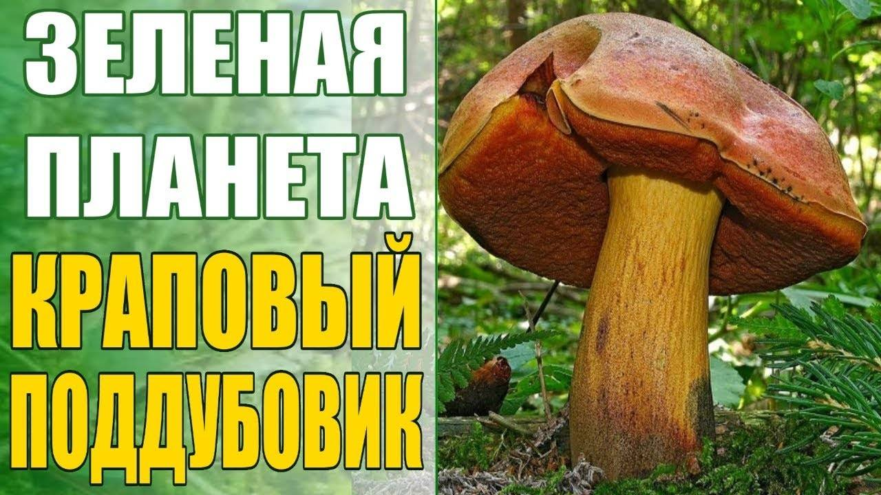 Грибы забайкалья 2020: грибные места, фото, съедобные и несъедобные названия