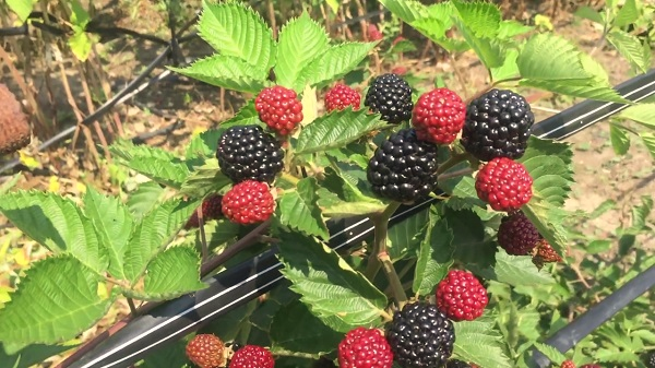 Ремонтантная ежевика: лучшие сорта для выращивания
