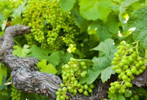Частота поливов винограда после высадки