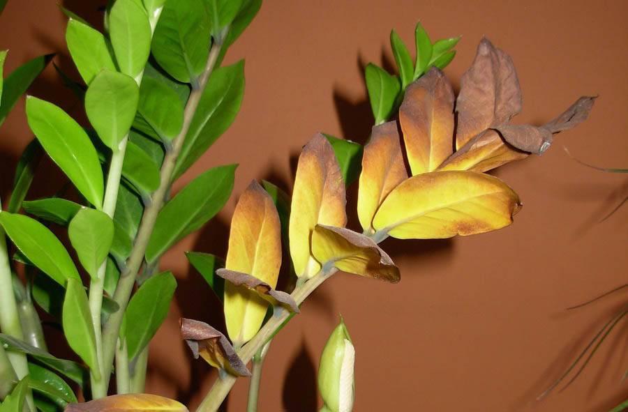 Почему замиокулькас не растет быстро в домашних условиях, каковы причины того, что долларовое дерево плохо дает новые побеги или совсем перестало это делать, как заставить, ускорить процесс при медленном росте, а также долго ли выращивать цветок из листа?
