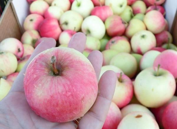 Яблоня мельба: фото и описание сорта. рекомендации посадка и уход