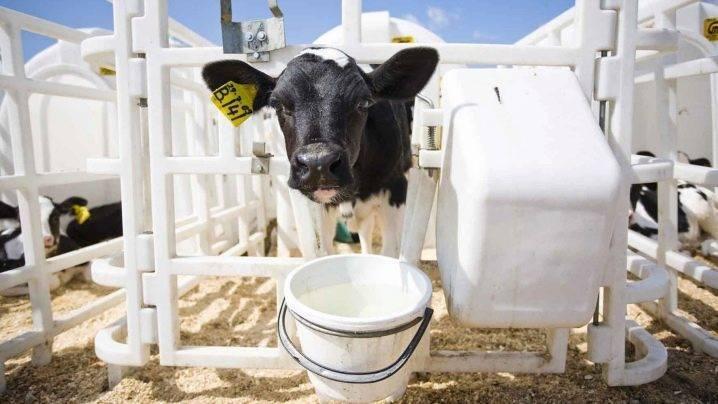 Новорожденный теленок: ссхема выпойки молока телятам
