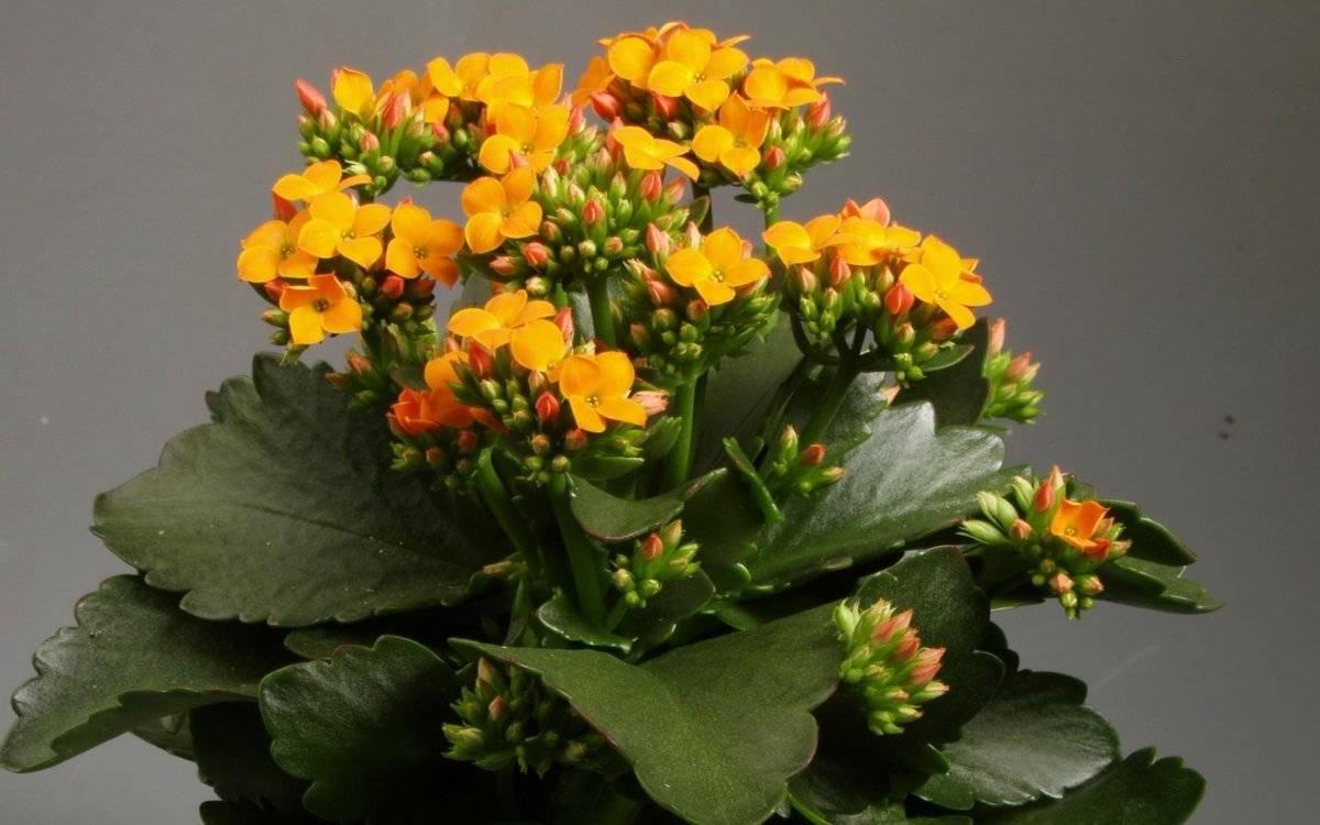 Почему не цветет каланхоэ в домашних условиях, а растут только листья? как ухаживать и чем подкормить каланхоэ, чтобы заставить цвести?