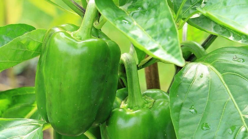 Чем подкормить перец в период плодоношения: лучшие подкормки, рецепты и сроки