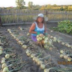 Когда сажать лук эксибишен в 2020 году: сроки посадки