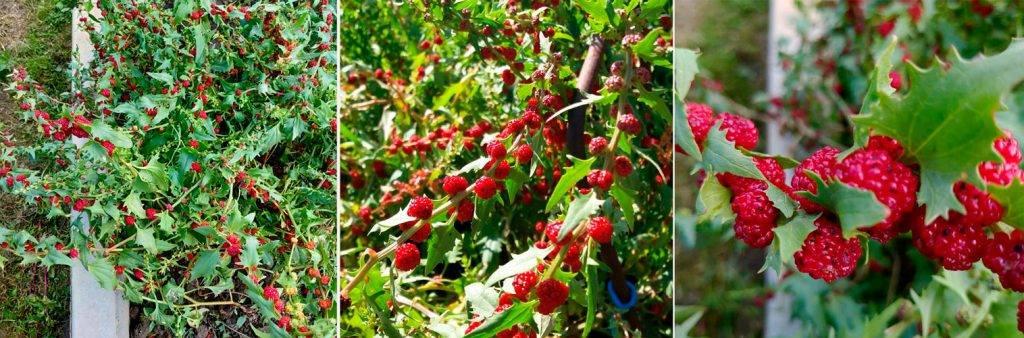 Шпинат выращивание из семян на даче своими руками