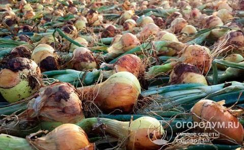 Лук штутгартер ризен: описание и характеристика сорта, посадка севка и семян на рассаду под зиму, выращивание и уход в открытом грунте, и когда и как сажать весной?