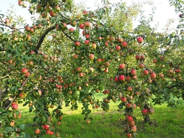 Яблоня аркадик: описание и характеристики сорта, особенности посадки и ухода, фото