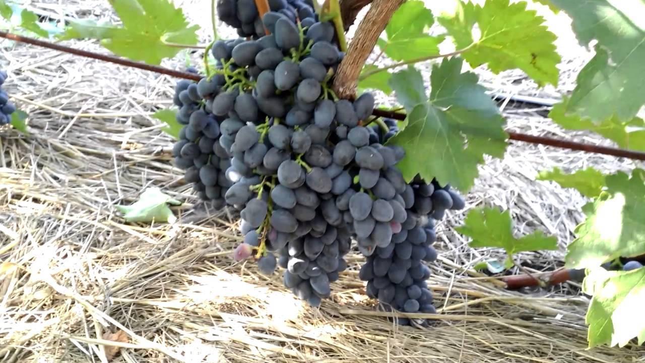 Этот сорт не проблема даже для новичков — виноград чарли