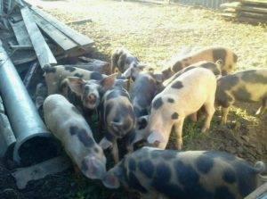 Сколько живут свиньи и от чего зависит продолжительность их жизни - мыдачники