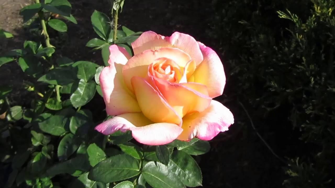 Роза глория дей клайминг плетистая: описание с фото и история возникновения, сорта, посадка, выращивание и уход, а также подготовка к зиме и возможные проблемыдача эксперт