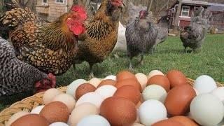 Рентабельность разведения кур | cельхозпортал