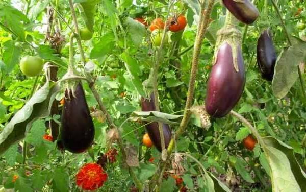 Почему у рассады томатов скручиваются и краснеют листья: 2 проблемы и работа над ошибками — agroxxi