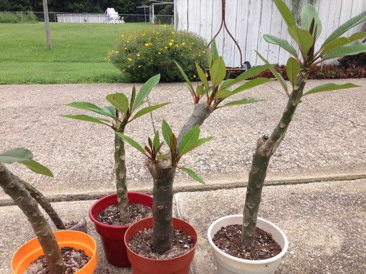 Плюмерия – уход в домашних условиях, фото, выращивание из семян и черенков