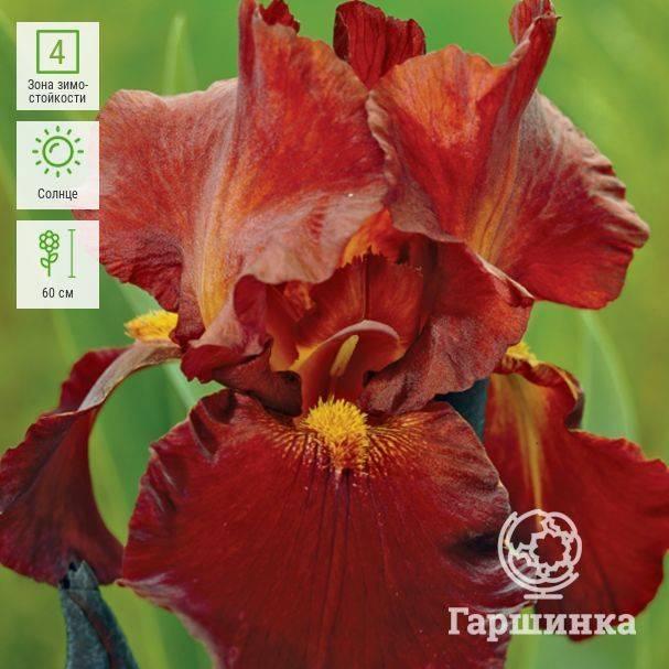 Ирис сибирский (38 фото): описание, посадка и уход в открытом грунте. почему он не цветет и как бороться с болезнями?