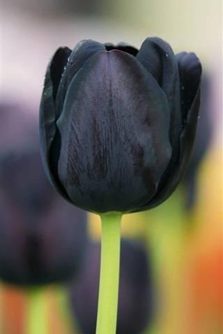 10 самых модных белых сортов тюльпанов