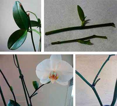 Рассказываем про размножение орхидей цветоносами в домашних условиях