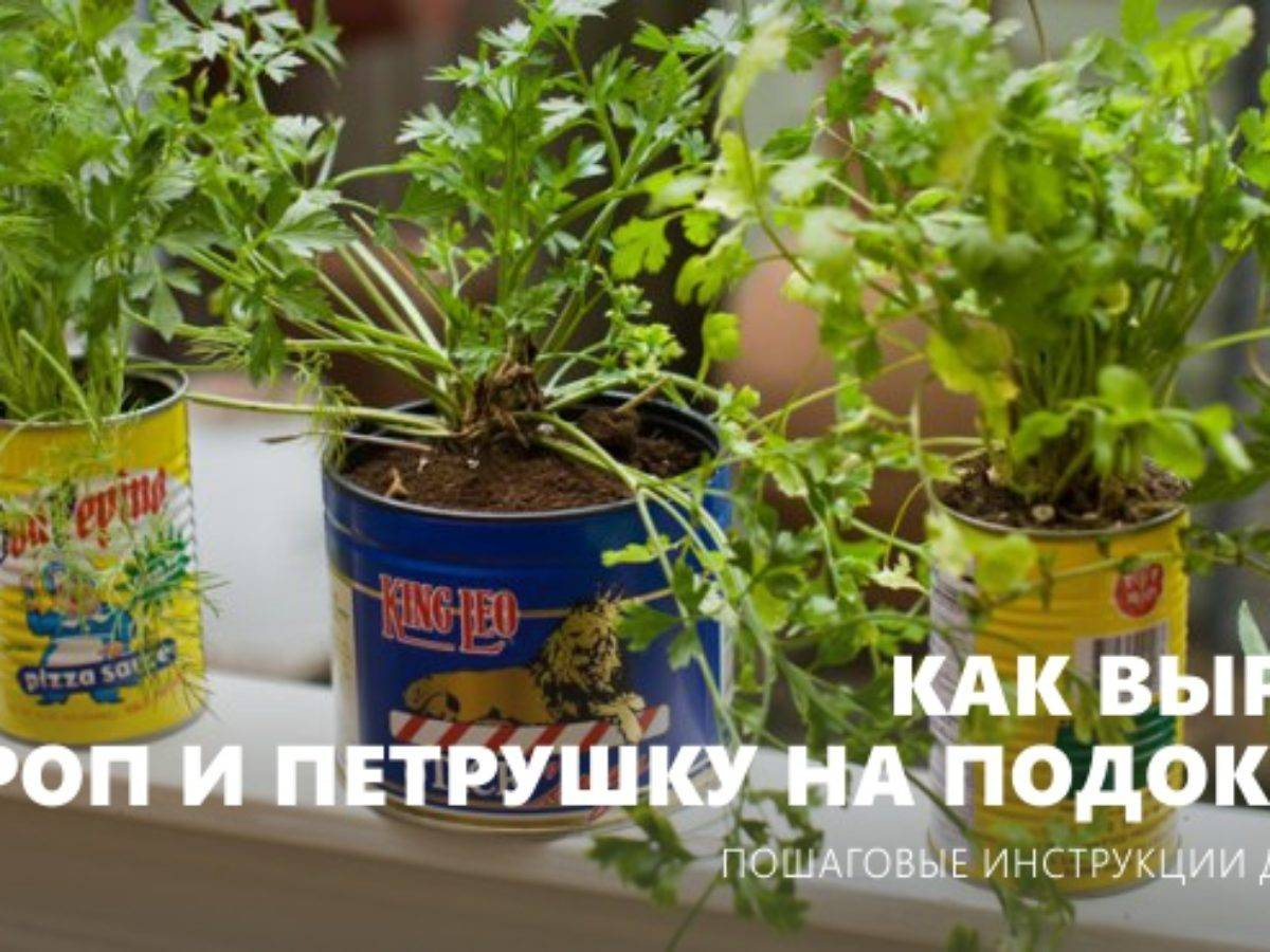 Укроп на подоконнике - выращивание из семян. уход за укропом в комнате.