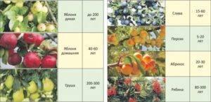 Сколько лет живет яблоня: продолжительность жизни деревьев, таблица