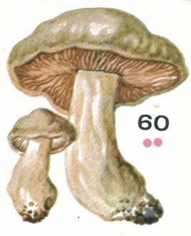 Энтолома садовая или лесная, подсливник, подабрикосовик (entoloma clypeatum): фото, описание съедобного гриба