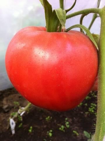 Томат малиновка: характеристика и описание сорта