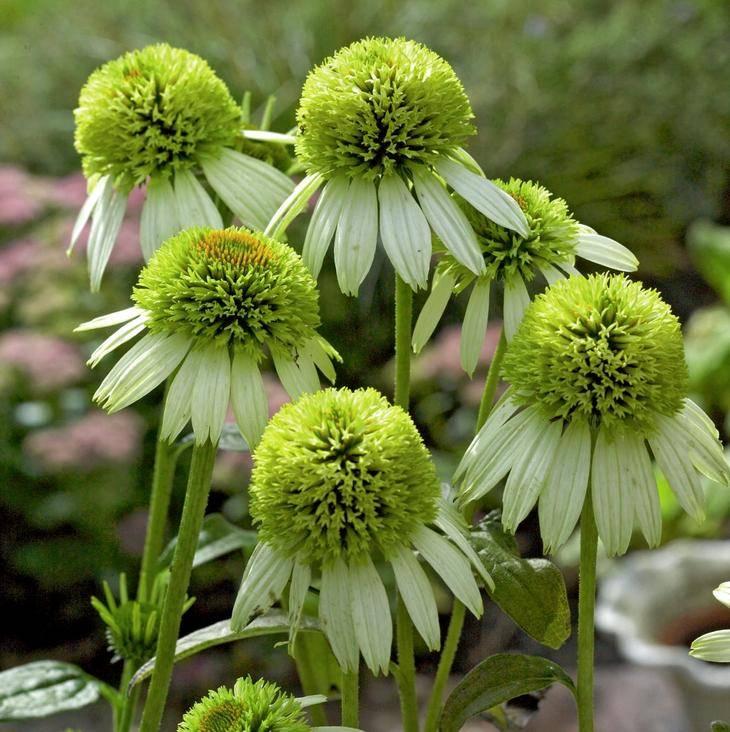Цветок эхинацея – как выглядит, разновидности, правила посадки и ухода, особенности размножения