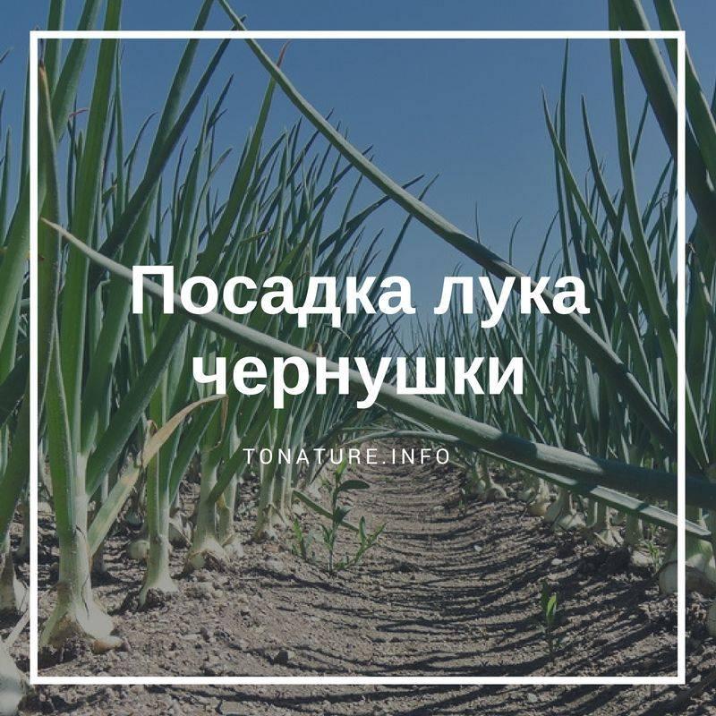 Лук чернушка: как вырастить (видеоурок и пошаговая инструкция)