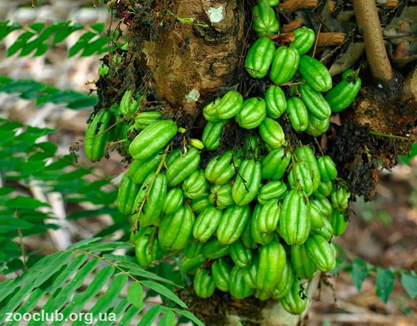 Огуречное дерево фото и описание