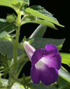 Комнатный цветок ахименес: уход и выращивание в домашних условиях