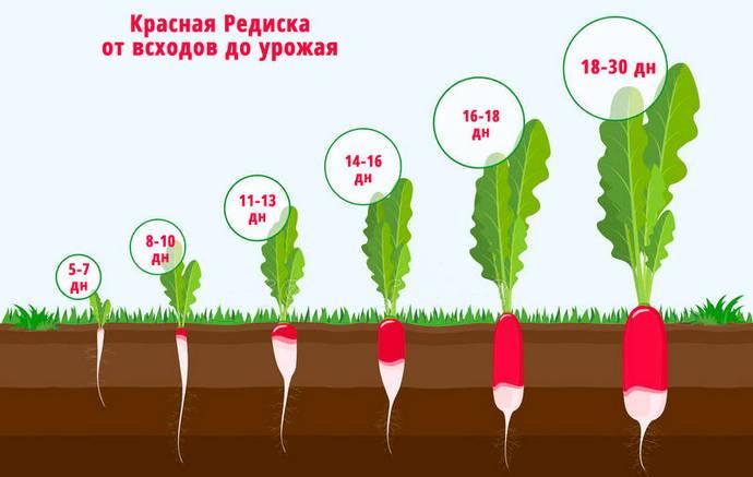 Сажаем редиску ранней весной: как правильно сеять семена овоща в открытый грунт, когда это следует делать и какие сорта лучше выбрать? русский фермер