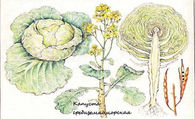 Изобразите в виде схемы процесс выведения сорта кочанной капусты от дикого предка. капусты - kohl