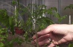 Секреты выращивания томатов в теплице: как ухаживать, чтобы получить хороший урожай