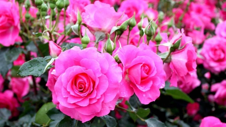 Уход за розами осенью (в сентябре и октябре): основные принципы ухода и подготовки роз к зиме