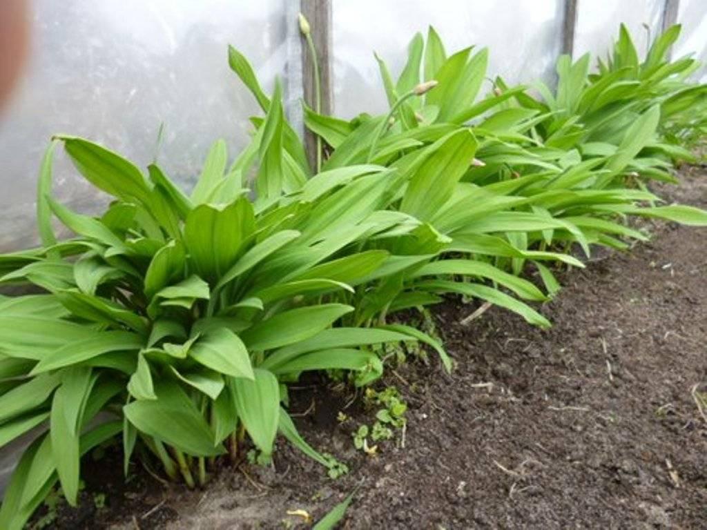 Черемша: выращивание из семян на даче, когда и как собирать черемшу