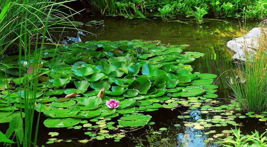 Правила посадки водных растений на даче: как выбрать, когда сажать