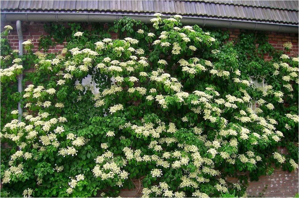 Выращивание гортензии черешковой: посадка и уход в саду