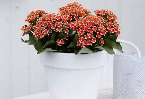 Мини каланхоэ - каландива: уход за растением в домашних условиях, фото selo.guru — интернет портал о сельском хозяйстве