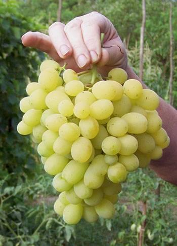 """Описание сорта винограда """"лора"""" с фотографиями"""