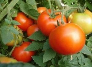 Томат веселый гном: описание сорта, отзывы, фото, урожайность | tomatland.ru