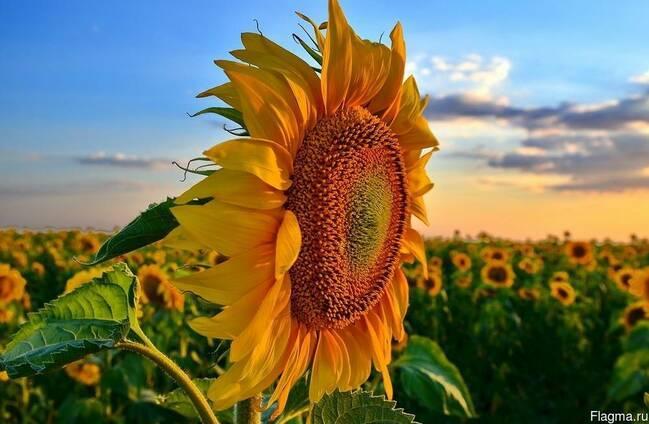 Подсолнечник. обзор гибридов семян подсолнечник syngenta® описание, свойства и цены — agroprim.com