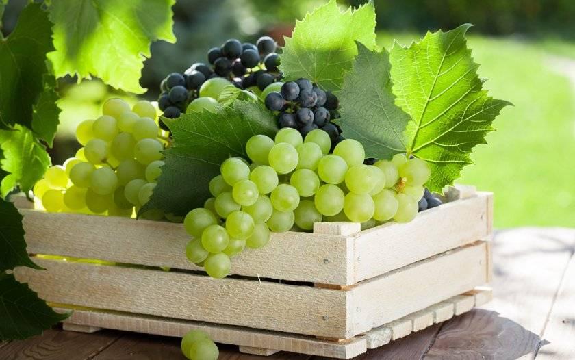 ✅ виноград московский безукрывной. описание винограда московский безукрывной, особенности посадки и выращивания - живой-сад.рф