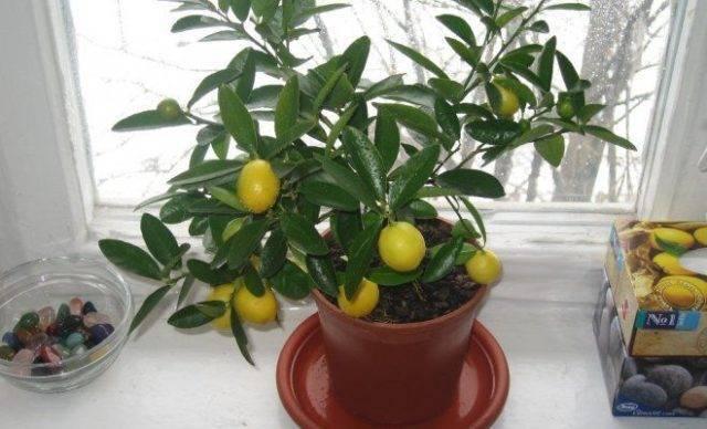 Размножение лимона черенками в домашних условиях: как сажать, укоренить