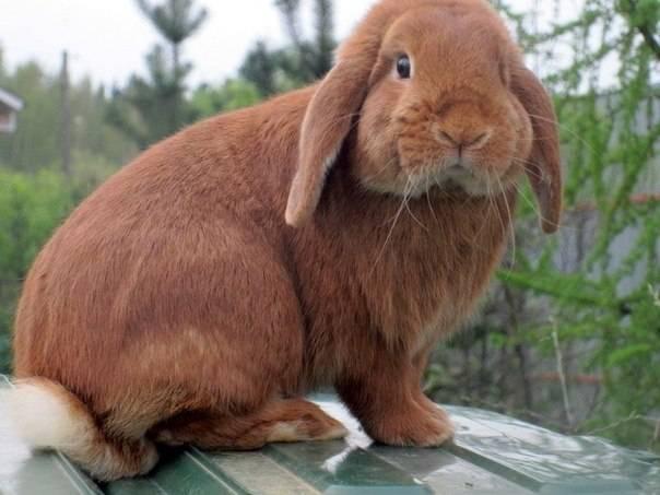 Французский баран, домашний кролик
