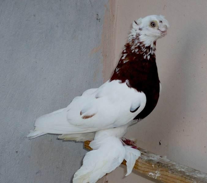 Какого ухода требуют узбекские голуби?