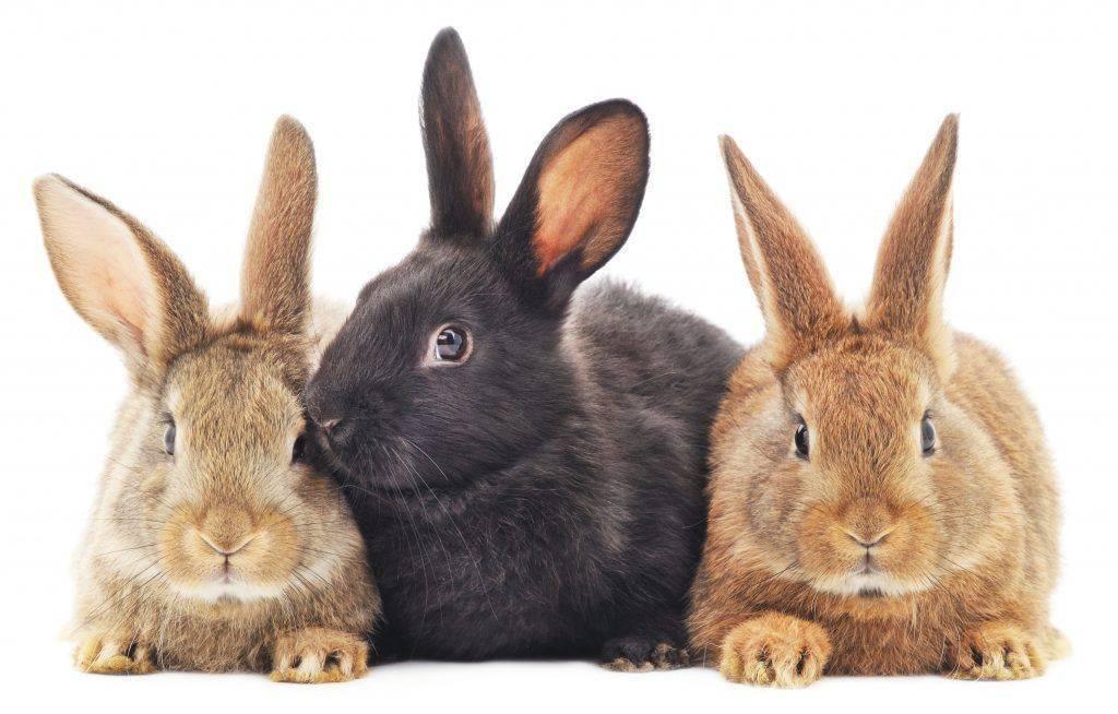Описание крольчихи